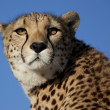 Zurück in die Sonne blickender Gepard, cheetah - Stock Photo
