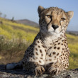 Liegender Gepard von vorne, Cheetah - Stock Photo