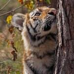 Neugieriges Tigerbaby — Stock Photo