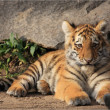 Liegendes Tigerbaby - Stock Photo