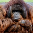 Stock Photo: Schmollender Orang Utan