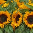 Sonnenblumen - Stock Photo