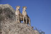 Zwei Geparde auf einem Felsen, Cheetah — Stock Photo