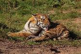 Sich putzendes Tigerbaby — Stock Photo