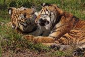 Kämpfende Tigerkinder, fighting tiger cubs — Foto de Stock