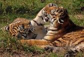 Spielende Tigerkinder, playing tiger cubs — Stock Photo