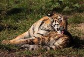 Tigerbaby, dassich putzt — Stok fotoğraf