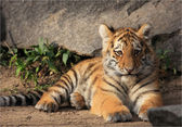 Liegendes Tigerbaby — Stock Photo
