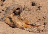 Sleeping suricate — Stock Photo