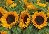 Sonnenblumen — Stock Photo