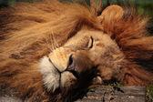 Schlafender Löwe — ストック写真