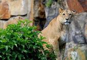 Löwin hinter einem Busch, lion sitting behind a bush — Stock Photo
