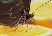 オレンジ色を蝶します。 — ストック写真