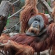 Stock Photo: Lazy orang utan