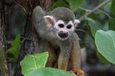 在一棵树的小猴子 — 图库照片