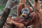 Lazy orang utan — Stock Photo