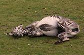 Lieing zebra — Stock Photo