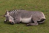 Playing zebra — Stock Photo