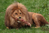 Eating lion — Stock Photo