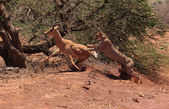 охота гепарда — Стоковое фото