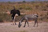 Strich i zebra — Zdjęcie stockowe