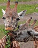 Eating giraffes — Stock Photo