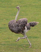 Running ostrich — Stock Photo