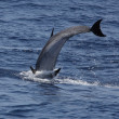 Dolphin jumping into the water — Stock Photo #7380373