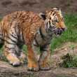 Angry tiger cub — Stock Photo