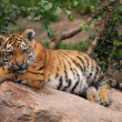 Cute tiger cub — Stock Photo