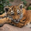 Tired tiger cub — Stock Photo