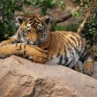 Shy tiger cub — Stock Photo