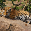 Lazy tiger cub — Stock Photo