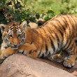 Cute tiger cub — Stock Photo #7389715