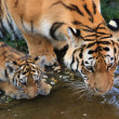 Two drinking tigers — Stock Photo