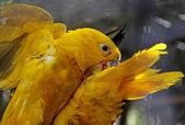 Två kämpar papegojor — Stockfoto