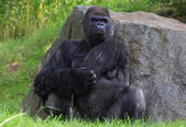 Angry gorilla — Stock Photo