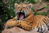 Jawning tiger cub — Stock Photo