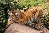 Cute tiger cub — Stock Photo