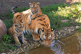 Tiger cubs with their mom — Stock Photo