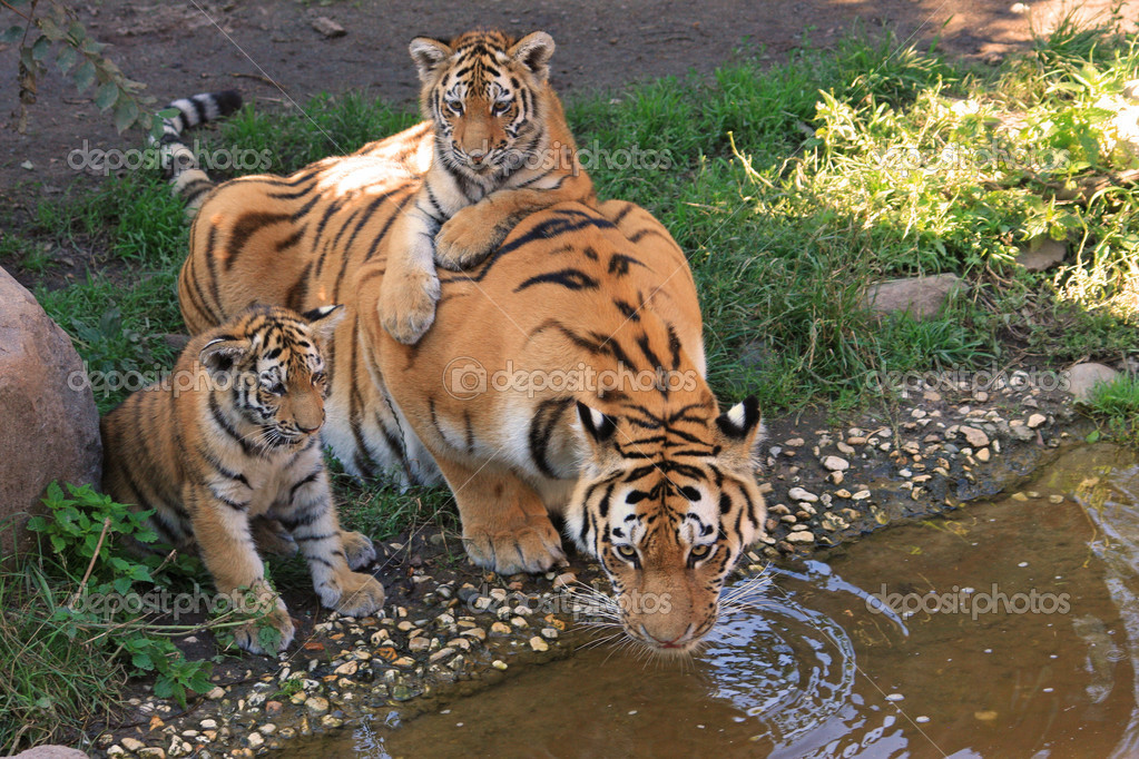 Siberian Tiger Facts Cubs Habitat Diet Adaptations