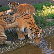 Tiger family — Stock Photo