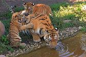 Tiger family — Stock Photo