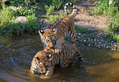 Two tiger cubs — Stock Photo