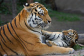 Tiger mom and her cub — Stock Photo