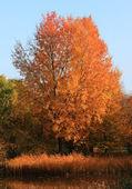在秋季棵美丽的树 — 图库照片