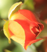 A bud, roses red — Stock Photo