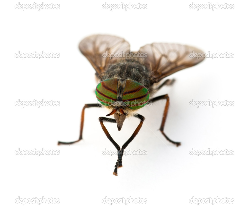 Gadfly against a white background — Stock Photo #7011909