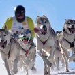 Mushing — Stock Photo #6959706