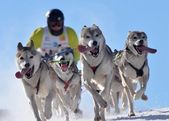 Mushing — Foto Stock